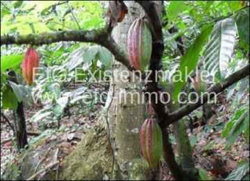 Bahia 94 hectares Farm with cocoa and pasture / EfG 11499-BCF, 45676-000 Laje do Banco, Brazil